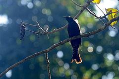 240px drongo cuckoo in mizoram 1
