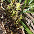 Drosera rotundifolia s3.jpg