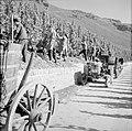 Druivenplukkers aan het werk, Bestanddeelnr 254-4148.jpg