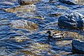 Duck (42348695041).jpg