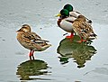 Ducks, Waters' Edge Park - geograph.org.uk - 334282.jpg