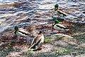 Ducks (34120427813).jpg