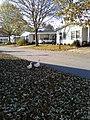 Ducks go for a walk - panoramio.jpg