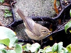 Dusky warbler - Image: Dusky Warbler