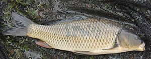 Common carp -  Dutch wild carp