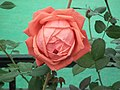 Dwarf Rose from Lalbagh flower show Aug 2013 8496.JPG