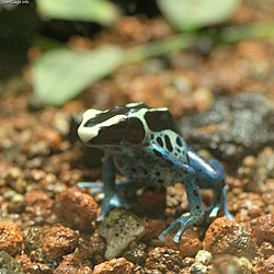 Dyeing Poison Frog.jpg