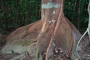 Mossman Gorge, Queensland - Spurwood, Dysoxylum pettigrewianum at Mossman Gorge