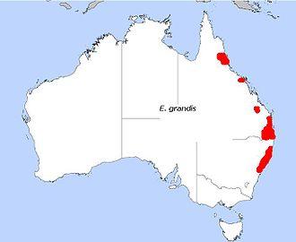 Eucalyptus grandis - Image: E. grandis