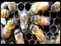 File:East-Learns-from-West-Asiatic-Honeybees-Can-Understand-Dance-Language-of-European-Honeybees-pone.0002365.s005.ogv