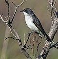 Eastern Kingbird (34190350870).jpg