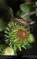 Eastern Leaf-footed Bug (Coreidae, Leptoglossus phyllopus) (29595995154).jpg