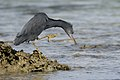 Eastern Reef Egret - grey form (Egretta sacra) (40724593200).jpg