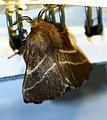 Eastern Tent Caterpillar Moth - Hodges-7701 (Malacosoma americana) -2 - 06.14.21.jpg