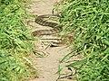 Eastern Tiger Snake.jpg