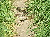 Mainland tiger snake Banyule Flats Reserve, Melbourne, VIC