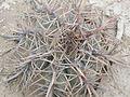 Echinocactus horizonthalonius (5661022726).jpg