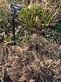 Echinops ritro.JPG