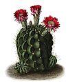 Echinopsis pentlandii BlKakteenT26.jpg