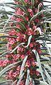 Echium wildpretii hojas.jpg