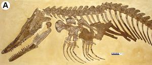 Ectenosaurus - Partial skeleton of Ectenosaurus clidastoides.