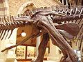 Edmontosaurus pelvis right.JPG