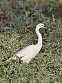 Egretta garzetta (Kafue pond).jpg