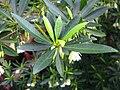 Elaeocarpus hainanensis 04.JPG