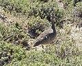 Elegant Crested Tinamou - Flickr - gailhampshire.jpg