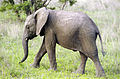 Elephant (Loxodonta Africana) 08.jpg