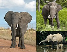From top left to right: the African bush elephant, the Asian elephant and African forest elephant.