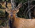 Elk- Curious Fellow (14006028975).jpg