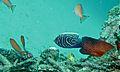 Emperor Angelfish (Pomacanthus imperator) juvenile (6123742845).jpg