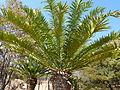 Encephalartos altensteinii, kroon, Waterberg.jpg