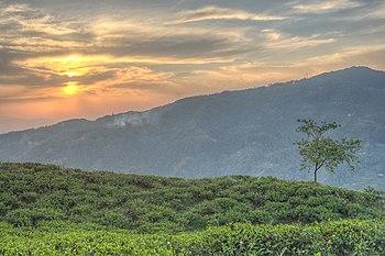 End of the day in a tea garden.jpg