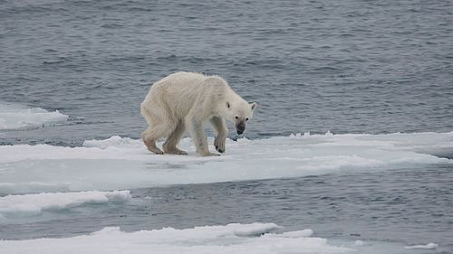 The U.S. Geological Survey projects that reduced sea ice from climate change will lower the population of polar bears by two-thirds by 2050. Endangered arctic - starving polar bear.jpg