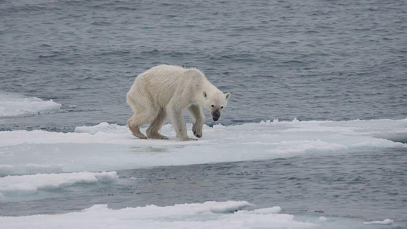 Endangered arctic - starving polar bear.jpg