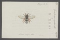 Epeolus - Print - Iconographia Zoologica - Special Collections University of Amsterdam - UBAINV0274 045 08 0027.tif
