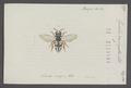 Epeolus - Print - Iconographia Zoologica - Special Collections University of Amsterdam - UBAINV0274 045 08 0027.tif