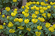 Eranthis hyemalis aka winter aconite 2005 5th april in tradgardsforeningen gothenburg sweden