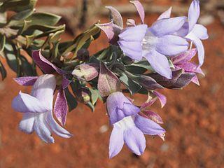 <i>Eremophila spathulata</i> species of plant