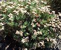 Eriogonum arborescens kz6.jpg
