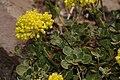 Eriogonum umbellatum 3355.JPG