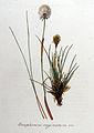 Eriophorum vaginatum — Flora Batava — Volume v8.jpg