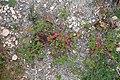 Erodium malacoides kz6.jpg