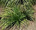 Eryngium alternatum 1.jpg