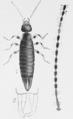 Euborellia annulipes (Anisolabis a) - PD Lucas 1920.png