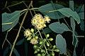 Eucalyptus intertexta flowers.jpg
