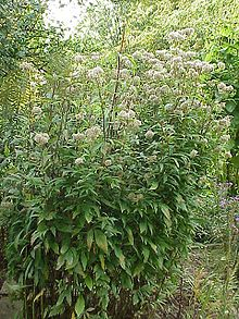 Eupatorium - Wikipedia, the free encyclopedia