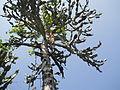 Euphorbia antiquorum (YS) (5).JPG